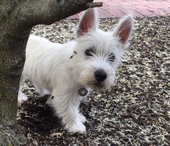 PPF Farms Kennel for West Highland White Terriers - Westies